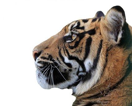 Tiger, Head, Face, Profile, Close-up, Beautiful