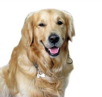 Dog, Golden Retriever, Golden, Retriever, Animal