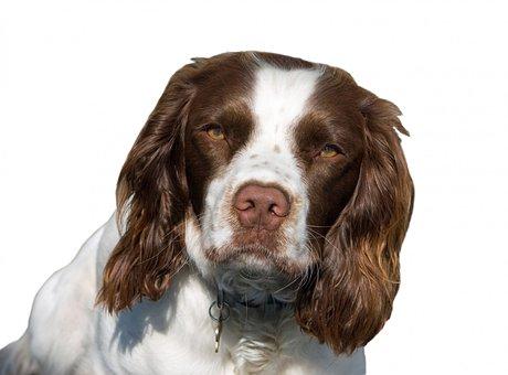 Dog, English Springer Spaniel, Springer, Spaniel