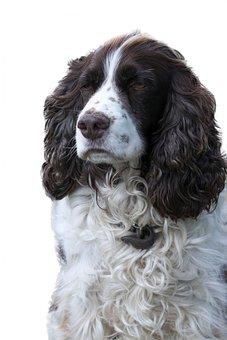 Dog, English Springer Spaniel, Springer Spaniel