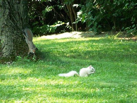 Squirrels, White, Brown, Animals, Mammals, Two, Pair