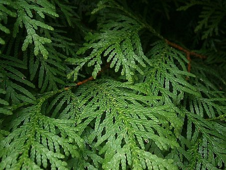 Thuja, Branches, Branch, Tree Of Life, Conifers