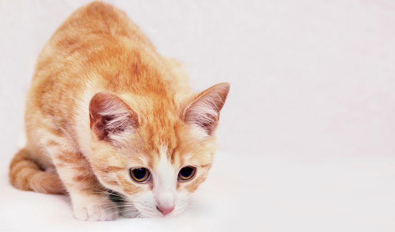 Background, Cat, Red, White, Background Image