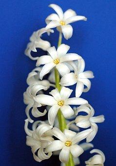 Flower, Hyacinth, Cream, White, Spring, Blue, Navy
