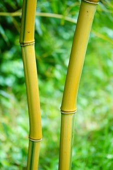Gold Bamboo Tube, Stalk, Green, Yellow, Woody, Bamboo