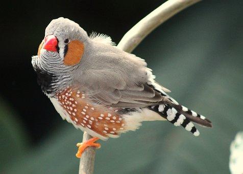 Bird, Nature, Animal, Zebra Finch, Finch, Zebra, Red