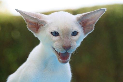 Cat, Hiss, Siamese Cat, Fur, Charming, Animal