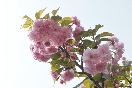 Spring, Begonia, Ching Ming, Malus Spectabilis