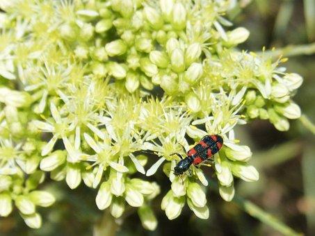 Trichodes Apiarius, Colóptero, Beetle, Black And Orange