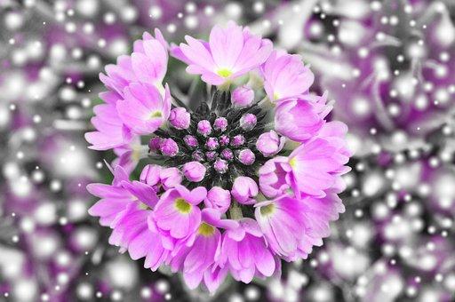 Primrose, Flower, Blossom, Bloom, Drumstick, Plant
