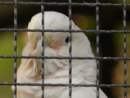 Goffins Cockatoo, Cacatua Goffiniana, Cockatoo