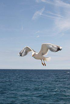 Seagull, Blue Sky, Freedom, Air, Flying, Bird, Sky