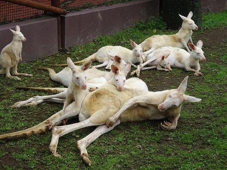 Kangaroo, Fuji Safari Park, White, Kangaroo Family, Zoo