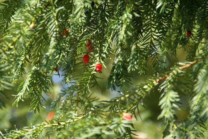Yew, Tree, Plant, Branch, Nature, Green, Coniferous