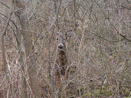 White Tailed Deer, Hiding, Leave Less Bushes, Animal