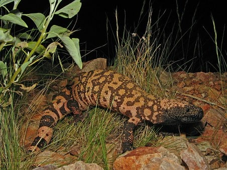 Reticulate Gila Monster, Animal, Wildlife, Reptile