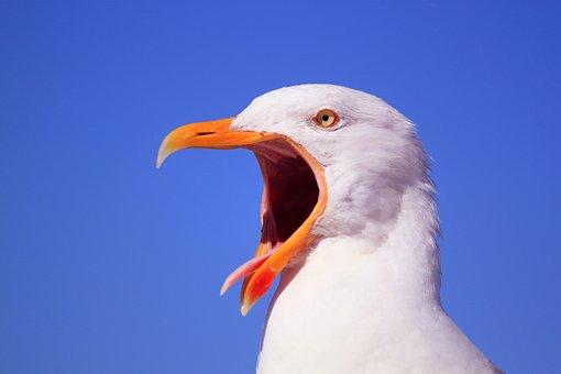 Animal, Animals, Bird, Birds, Seagull, Gulls, Species
