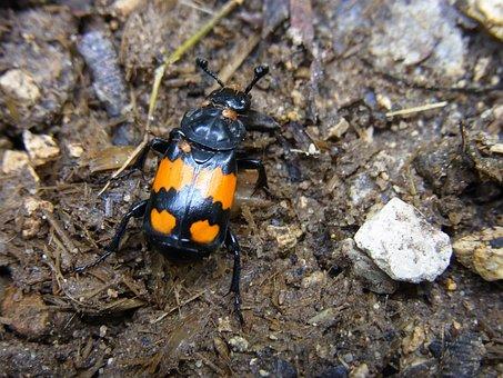 Silphidae, Schwarzhören Niger Gravedigger
