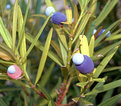 Yew, Fruits, Poisonous, Berries, Trees, Branches, Aril