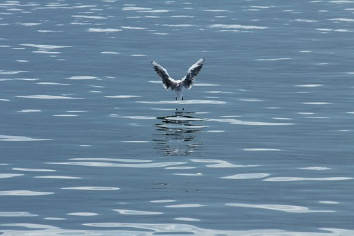 Bird, Gull, Wass, Water Bird, Seagull, Animal, Flight