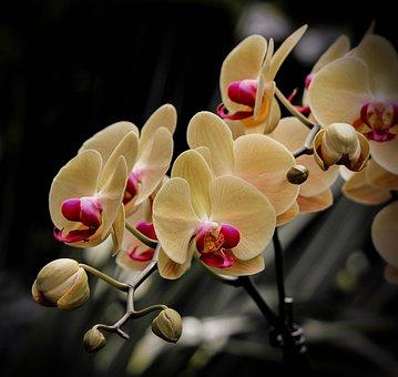 Moth Orchid, Phalaenopsis, Flowers, Yellow, Cream, Buds