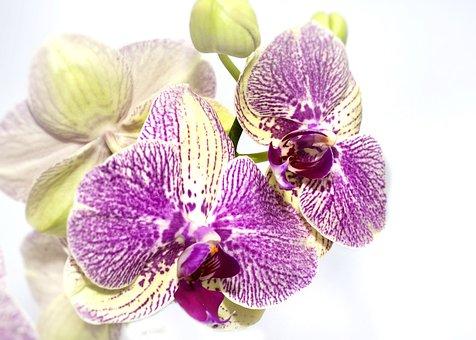Orchid, Phalaenopsis, Yellow, Purple, Nature, Flora