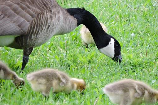 Geese, Baby Goose, Goose, Bird, Baby, Young, Outdoors