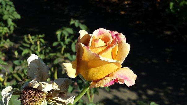 Rose, Honey Dijon Rose, Nature, Yellow, Golden, Dijon