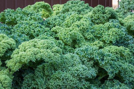 Kale, Foliage, Green, A Vegetable, Healthy, Garden