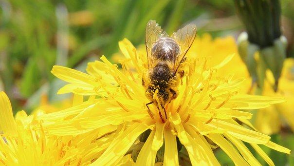 Bee, Blossom, Bloom, Pollen, Pollination, Macro, Apis
