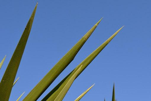 Spur, Palm, Close, Periwinkle, Prickly, Plant, Nature