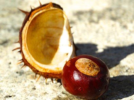 Chestnut, Shell, Chestnut Shell, Spur, Exposed, Brown