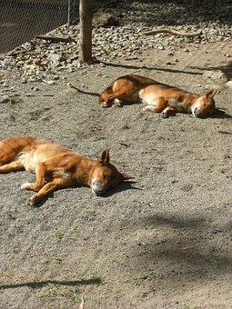 Sleeping, Dingo, Sleepy, Dog, Zoo, Australia, Cains