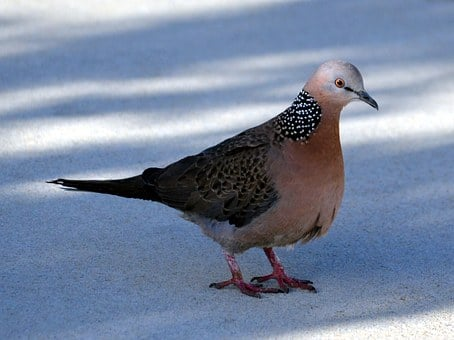 Spotted Dove, Pigeon, Bird, Spilopelia Chinensis