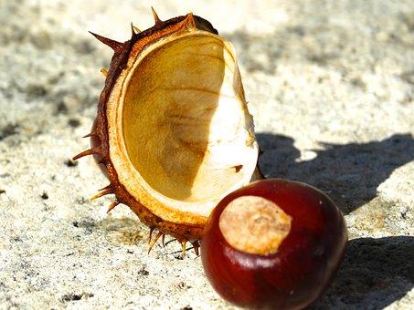 Chestnut, Chestnut Shell, Spur, Exposed, Brown, Reddish