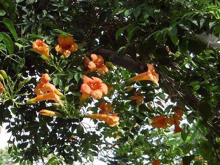 Trumpet Vine, Campsis Grandiflora, Tecoma Grandiflora
