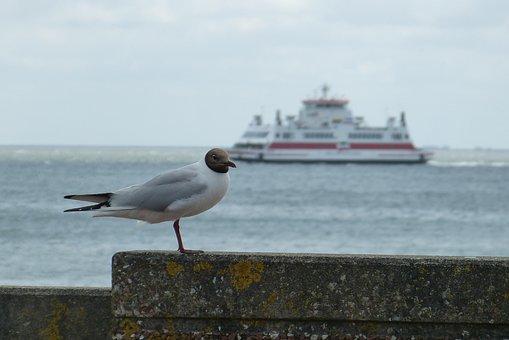 Föhr, Ferry, Holiday, Black Headed Gull, Sea, Water