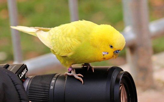 Budgie, Bird, Yellow, Yellow Budgie, Yellow Bird
