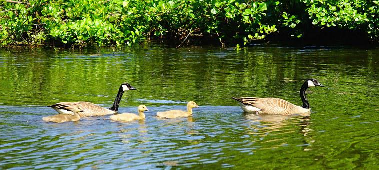 Geese, Canada Geese, Young Animals, Parents, Lake
