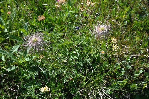 Alpine Pasqueflower, Faded, Alpine Flower, Alpine Plant