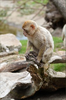 Ape, Monkey, Berber, Animal, Wildlife, Wild, Zoology