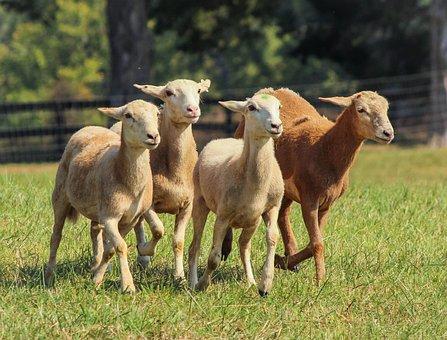 Sheep, Sheared Sheep, Flock, Running, Animals, Herding