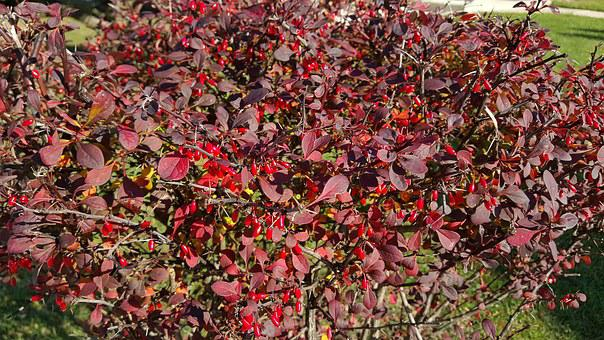 Red, Autumn, Barberry, Purple Leaf, Nature, Red Leaf