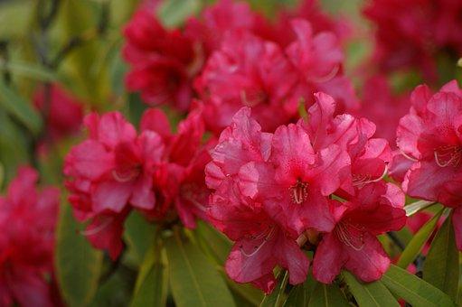 Flowers, Pink, Azalea, Rhododendron, Pink Azalea