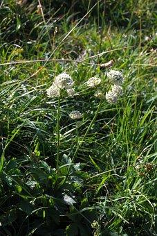 Bavarian Star Umbel, Flower, Blossom, Bloom, Plant