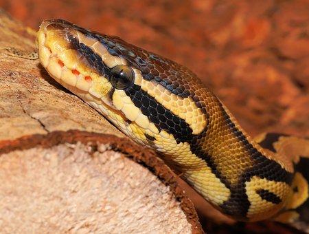 Snake, Python, Ball Python, Cute, Constrictor, Beauty