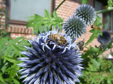 Bee, Honey Bee, Hoverfly, Thistle, Blossom, Bloom