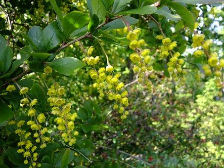 Berberis, Blossom, Bloom, Bush, Berberitzengewächs