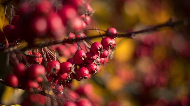 Berries, Bokeh, Branch, Nature, Berry, Winter, Red