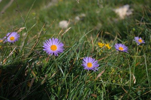 Alps-astern, Flower, Blossom, Bloom, Purple, Violet